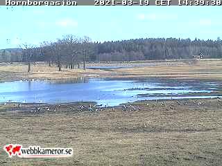 Webbkamera vid trandansen i Hornborgasjön
